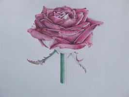 biro rose by angelfaces1986