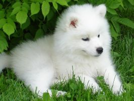 Samoyed Cortina by Shaylane