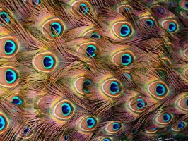 peacock feathers by mesash