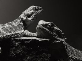 Bearded Dragons by mant01