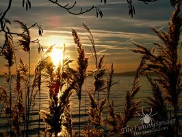 Reed Plants in the setting Sun by TheFunnySpider