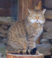 A Real Wild Cat by Wild-Soul