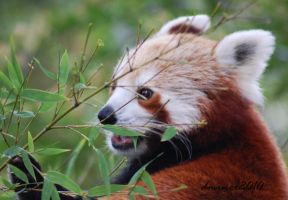 Hungry Red Panda by DanielleMiner