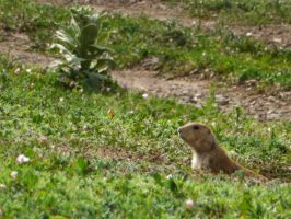 Groundhog by LiriusMagi