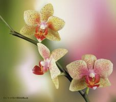 orchid2 by tcvetelinka