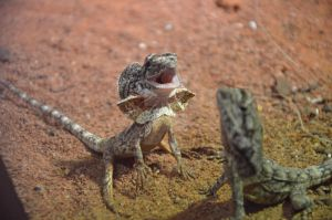 Baby Frilled Neck by BioVenomImagery