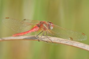 Maltese dragonfly 1 3 by melrissbrook