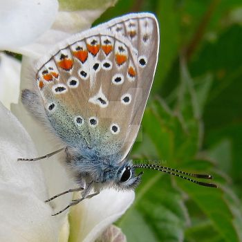 Blue Butterfly by Audierne