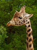 Giraffe 04 - Jun 13 by mszafran