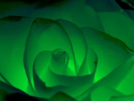 green rose by stock1-2-3