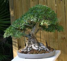 Bonsai- Willow Leaf by Della-Stock