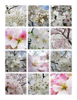 Cherry Blossoms Montage 1 by zaphotonista