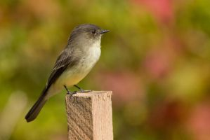 Yellow Bellied Flycatcher 3 by bovey-photo