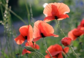 poppies by notanota
