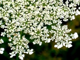Cow Parsley by BokehSmile