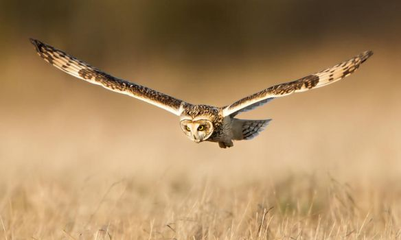 The Deviant !!! - Short-eared Owl by Jamie-MacArthur