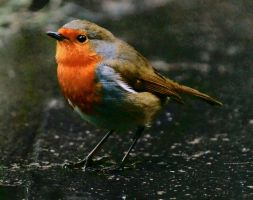 The Robin edited by Rustyoldtown