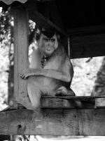 Pig-Tailed Macaque 2 by iskandar63