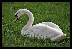 Swan relaxing by bitspike