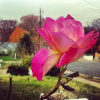 autumns rose by PhorionImaging