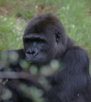 Gorilla by imacmike