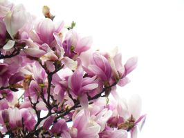 Magnolias forever by adrianmarkis