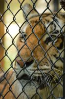 Caged Tiger by KeepYour-EyesOpen