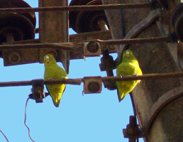Parakeets on the city post by Star-Clair