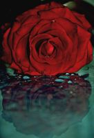 rose reflections by josephine26