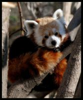 red panda: on the tree by morho
