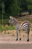 Wild Stripes by guitarjohnny