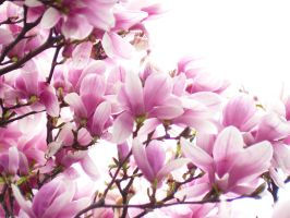 Magnolias forever I by adrianmarkis