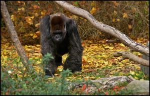 Silverback in the Fall by oOBrieOo