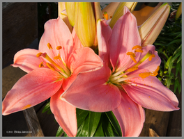 Pink Lilies in the Afternoon by Mogrianne