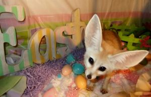 Akiko the Easter Fennec by Corsacfoxes