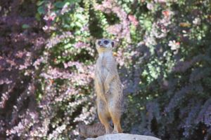 The meerkat by DreamingDragon-Fly