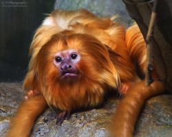 Golden Lion Tamarin 740 by caybeach