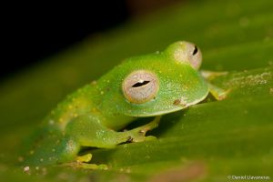 Glass frog by dllavaneras