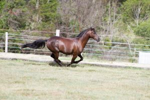 Dn black pony gallop bunched up side view by Chunga-Stock