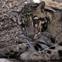Clouded Leopard 0801 by robbobert