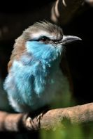 Racket-tailed Roller by robbobert