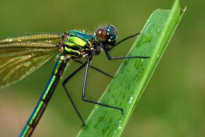 damselfly on a blade of grass by macrojunkie