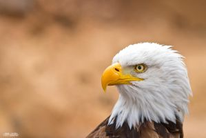 Bald Eagle by KrisSimon