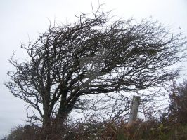 Wind-Swept Tree of Ireland 2 by RainyDayDreamr