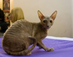 Cornish rex 2 by Yerahatte