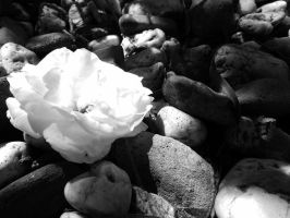 rose on stones - black and white by TaitRochelle