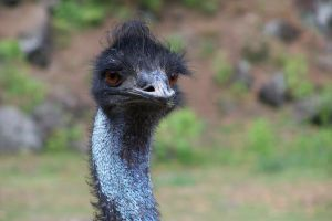 Curly the Emu by idril-telemnar