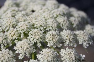 QUEEN ANNE'S LACE by zraclooc