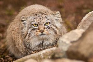 Manul III by amrodel