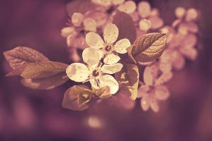 the violet blossoming cherry by hitforsa